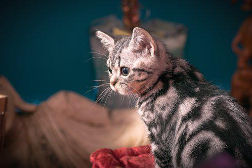 Kitten, Silver Tabby, Cat, Domestic Cat, Sweet, Small