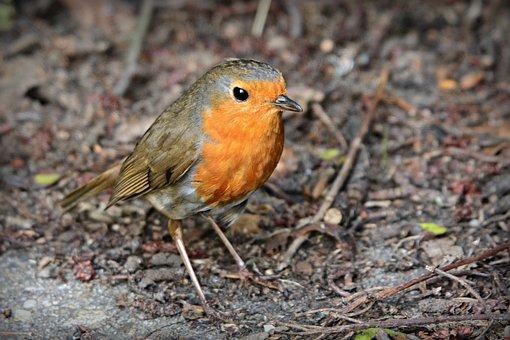 Robin, Song Bird, Animal, Feather, Plumage, Beak, Eye