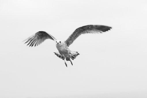 Bird, Gull, Young, Animal, Nature, Flight, Wings