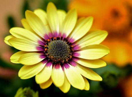 Spanish Margriet, Flower, Nature, Flora, Margriet