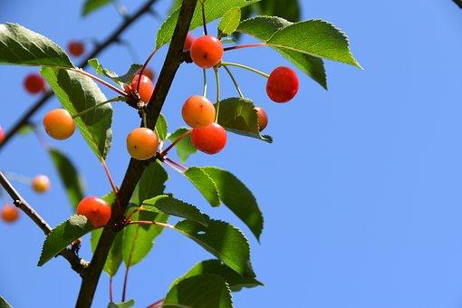 Cherries, Fruit, Branch Of Cherry Tree, Fruit Tree