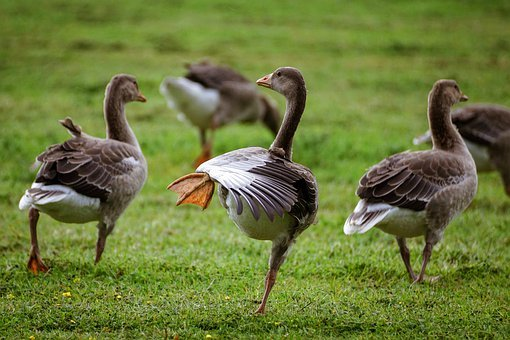 Geese, Grey Geese, Nature, Poultry, Water Bird