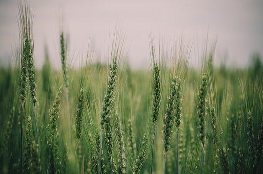 Wheat, Grain, Field, Summer