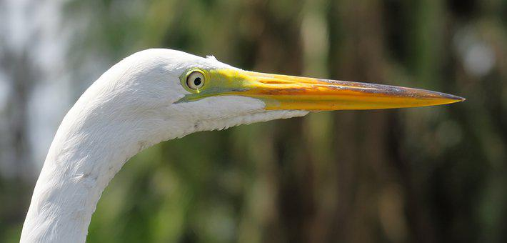 Most Day-herons And, Screams Herons, Heron, Florida