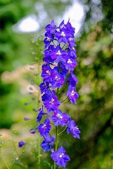 Larkspur, Flower, Purple, Nature, Flowers, High Growing