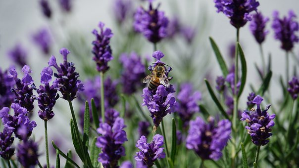 Honey Bee, Lavender, Insect, Animal, Animal Portrait