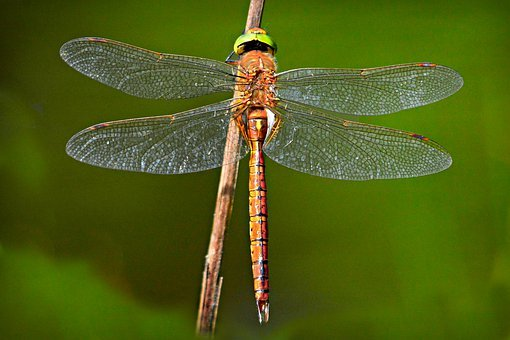 Dragonfly, Insect, Animal, Wings, Compound Eye