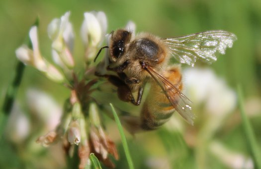 Bee, Honey, Insect, Wing, Honey Bee, Nature, Close Up