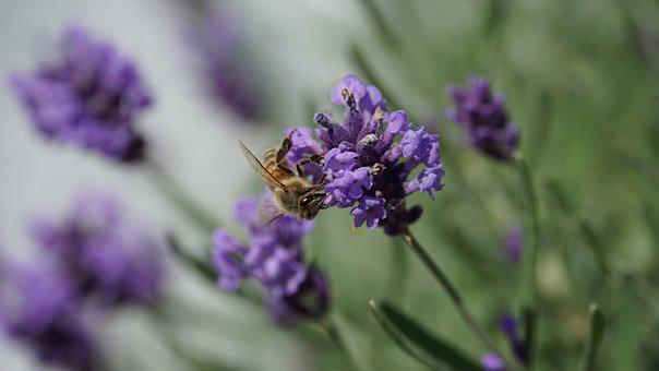 Honey Bee, Insect, Macro, Wing, Lavender Blossom