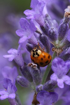 Ladybug, Lavender, Macro, Insect, Nature, Blossom