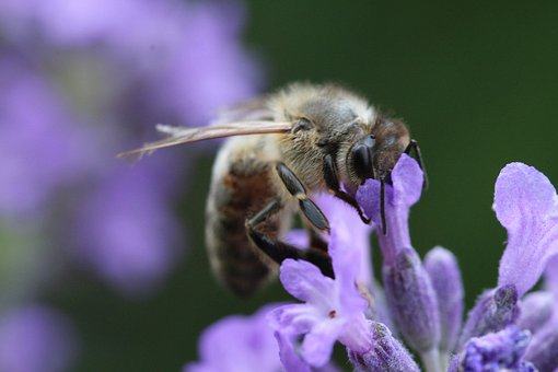 Bee, Blossom, Bloom, Lavender, Insect, Macro, Close Up