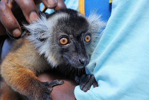 Lemur, Animal, Eyes, Africa, Hand