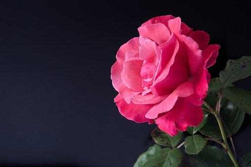 Red Rose, Flower, Romance, Valentine, Leaves, One, Love