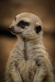 Meerkat, Zoo, Animal, Mammal, Charming, Curious, Africa