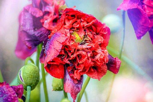 Poppy Flower, Pink, Red, Purple, Mohngewaechs, Flower