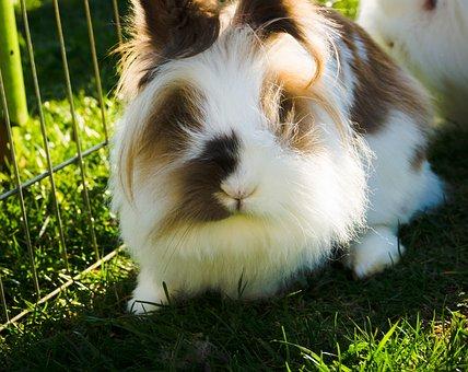 Hare, Rabbit, Dwarf Rabbit, Grass, Nature, Animal World
