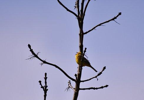 Bird, Yellowhammer, Songbird, Nature, Tree, Spring