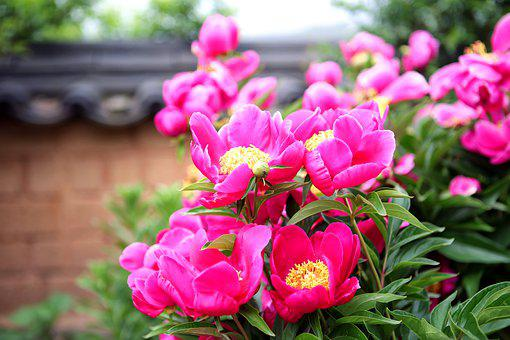 Peony, The, Peonies, Flowers, Plants, Nature, Garden