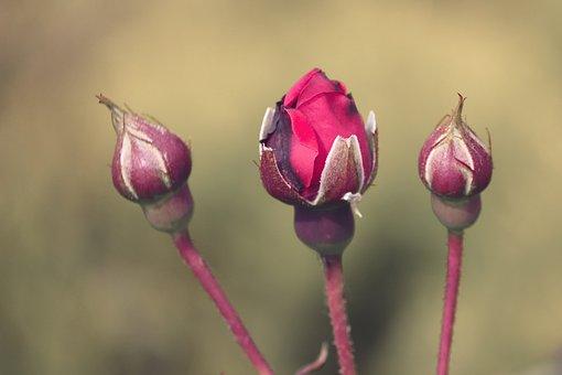 Rose Bud, Go Up, Roses, Flower, Petals, Fragrance