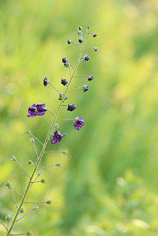 Mini Flowers, Stengel, Small Flowers, Violet, Plant