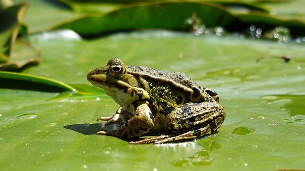 Frog, Poelkikker, Pond, Waterlily, Amphibian, Lily Pad