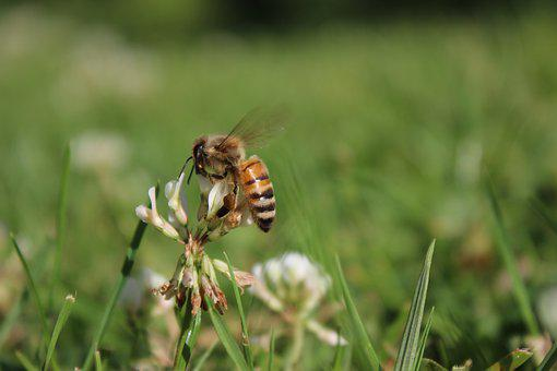 Bee, Meadow, Nature, Flower, Insect, Pollen