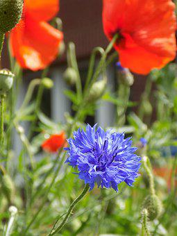 Flowers, Meadow, Blue, Red, Poppy, Green, Nature
