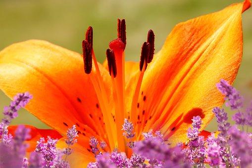Lily Garden, Flower, Posts, Beautiful, Clear, Garden