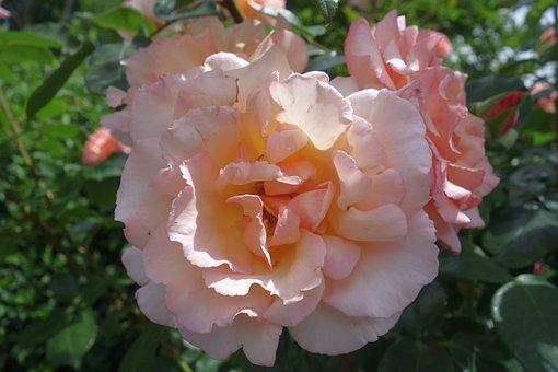 Rose, Blossom, Bloom, Plant, Rose Bloom, Romantic