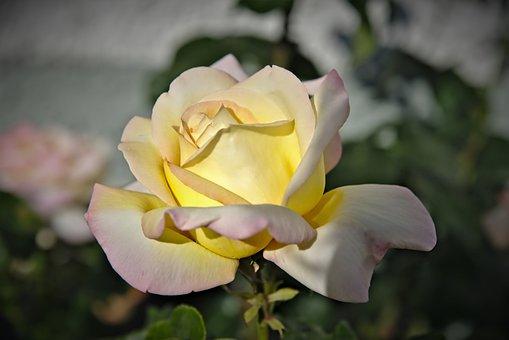 Rose, Rose Flower, Petals, Blossom, Tender, Yellow