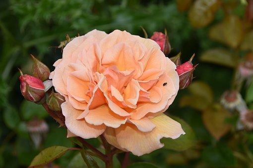 Flower, Flowers, Pink, Rosebuds, Green Leaves, Rosebush