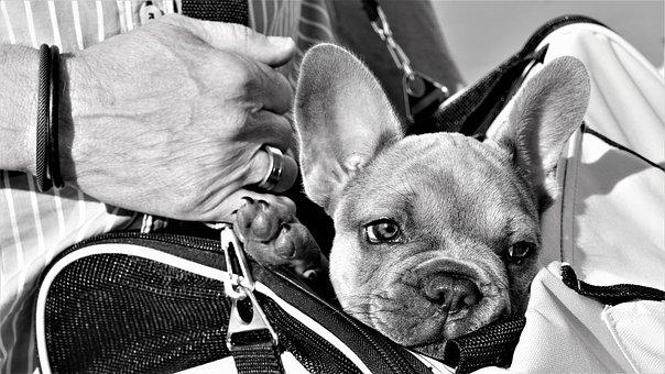 French Bulldog, Puppy, Hand, Man, Bag, Dog, Small