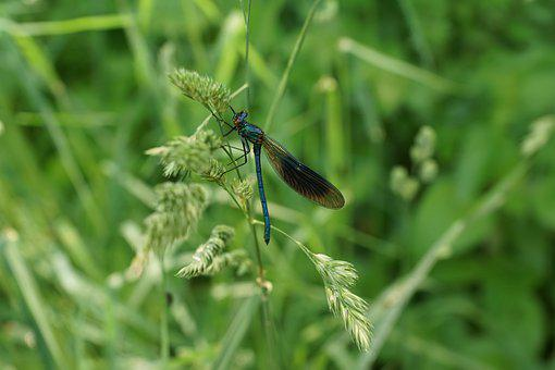 Dragonfly, Insect, Nature, Wing, Small Dragonfly