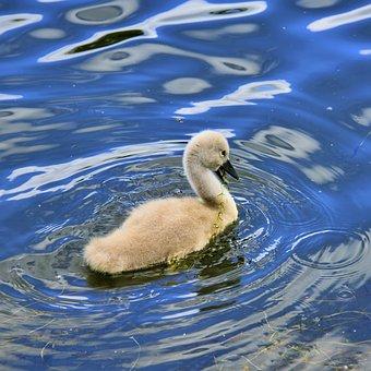 Cygnet, Swan, Animal, Water, Bird, Plumage, Nature