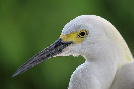 Jewelry-breasted, Heron, Florida, Water Bird, Bill