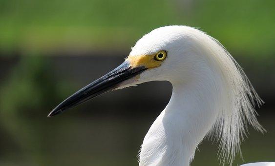 Jewelry-breasted, Bird, Black Beak, Florida, Water Bird