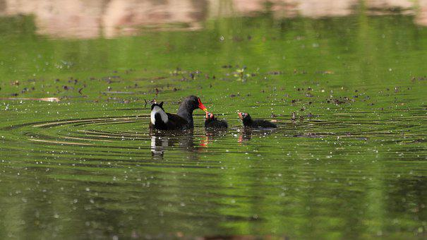 Moorhen, Reed, Pond, Water, Waters, Water Bird