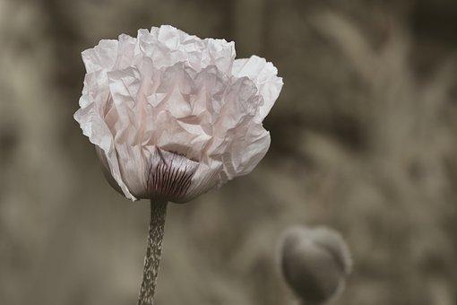 Poppy Flower, White, White Poppy, Poppy, Mohngewaechs