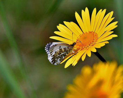 Butterfly, Bug, Wing, Nature, Spanish Margriet, Flower