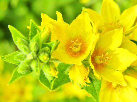 Lysimachia Punctata, Goldfelberich, Yellow Flower, Star