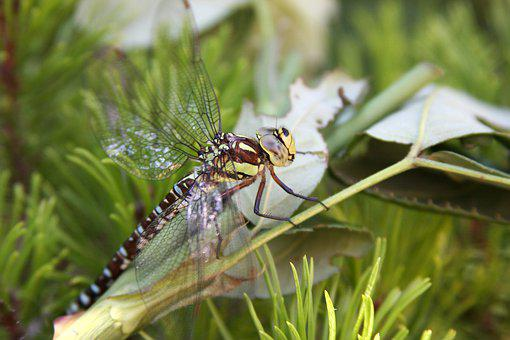 Dragonfly, Wing, Insect, Nature, Animal, Macro