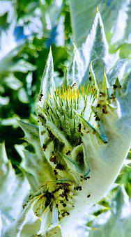 Thistle, Donkey Thistle, Ants, Aphids, Flora, Plant