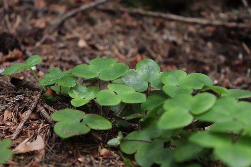 Nature, Wild, Forest, Background, Forest Clovers, Green