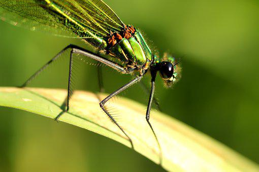 Banded Demoiselle, Dragonfly, Female, Insect