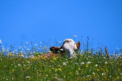 Nature, Landscape, Animal, Cow, Alm, Meadow, Bavaria