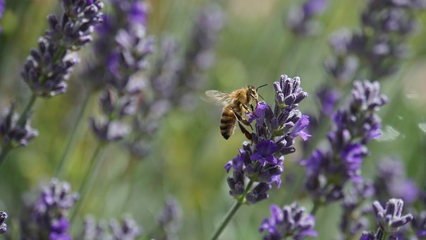 Honey Bee, Insect, Honey, Lavender, Bee, Animal, Flying