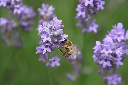 Bee, Lavender, Nature, Garden, Flower, Insect