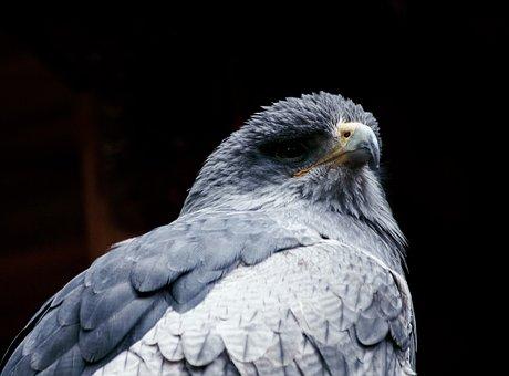 Blue Buzzard, Buzzard, Kordillerendadler, Bird Of Prey