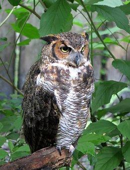 Owl, Bird, Bird Of Prey, Raptor, Feather, Plumage