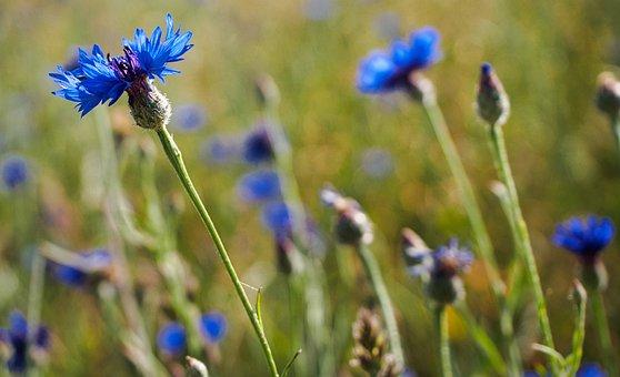 Cornflower, Field, Flowers, Nature, Blossom, Bloom